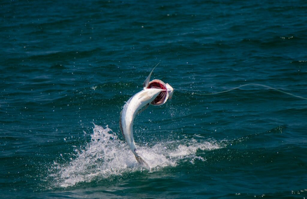 Roosterfish Flying